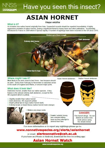Asian Hornet Watch Poster  - How to identify and report June 2020